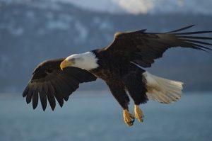 Bald Eagle Destroyed in Restigouche County
