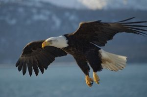 Bald Eagle Destroyed in Restigouche County